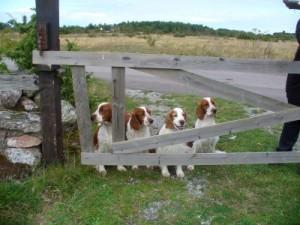 Det här är hundarna som delade hus en natt Tossan, Nynne, Zerlina och Stava.