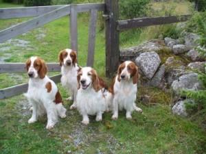 En bild till på hundarna Nynne, Stava, Zerlina och Tossan