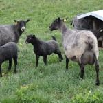 Lamm (ej får) hos en bonde på Gotland