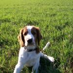 Dizzie på gräsmatta. Dizzie är ca 3 månader på bilden.