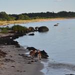 Efteråt var det härligt för Stava och Ellie att springa på Tofta strand. Jag vet att Pralin och Pajazzo hade det lika bra på sitt håll